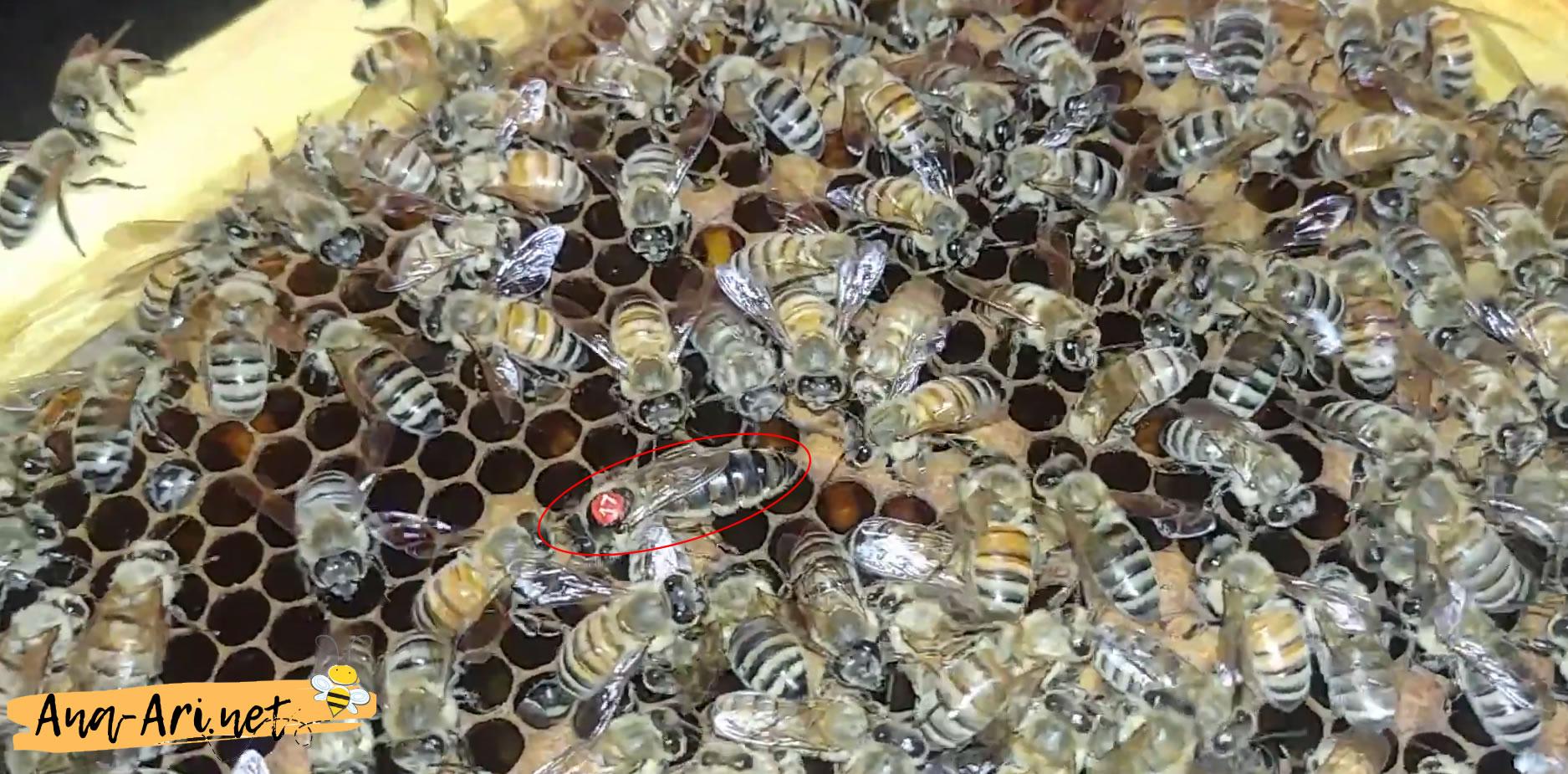 Kafkas Ana Arı özellikleri