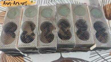 ana arı kafesi
