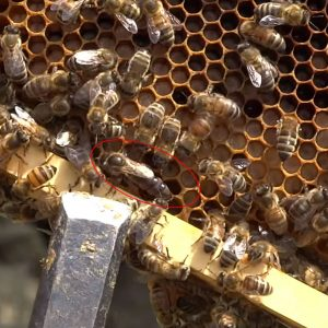 Anadolu ana arı