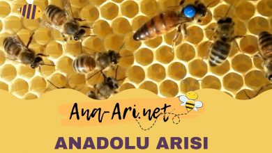 Anadolu Arısı ve özellikleri