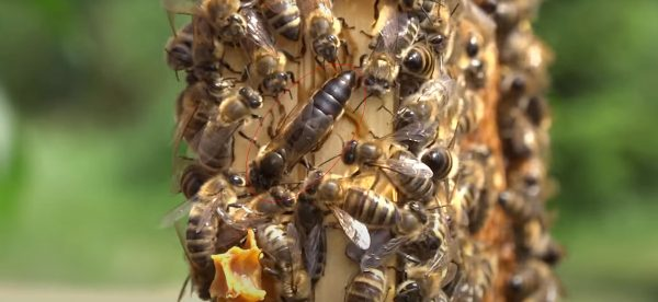 anadolu kraliçe ana arı